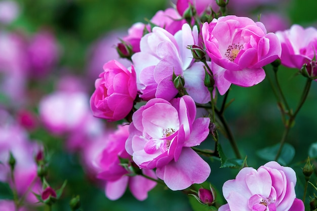 Rosa angela (анжелика) - роза флорибунда от kordes с чашевидными розово-розовыми цветками.