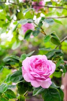 Rosa centifolia rose des peintres flower closeup on green garden surface