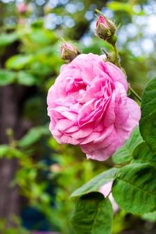여름 정원에서 rosa centifolia (rose des peintres) 꽃 근접 촬영