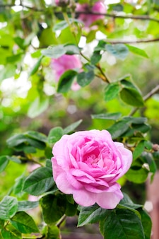 녹색 정원 표면에 rosa centifolia 로즈 des peintres 꽃 근접 촬영