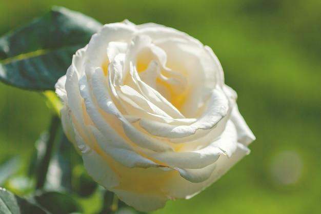 Rosa chopin (frederyk chopin) - light cream to pale yellow hybrid tea rose cultivar by zyla