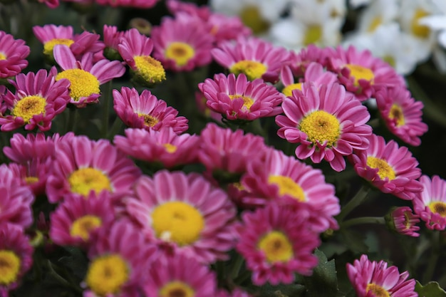 Rosa margeriten blüte, pink daisies flowers