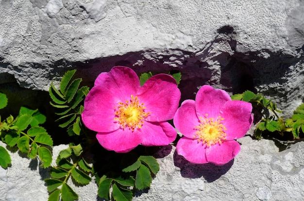 Роза пендулина - красивая роза, которая растет среди скал гор.