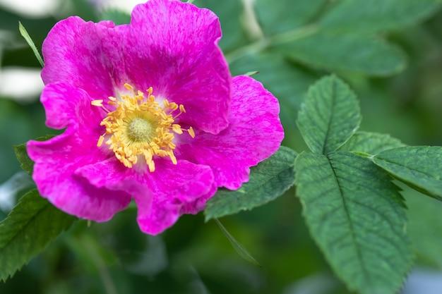 Rosa rubiginosa、甘いブライヤー。緑の葉とピンクの花のクローズアップ。自然のマクロ写真。花の背景