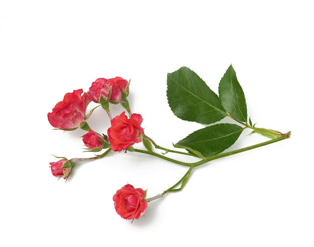Rose branch with small pink buds and green leaves