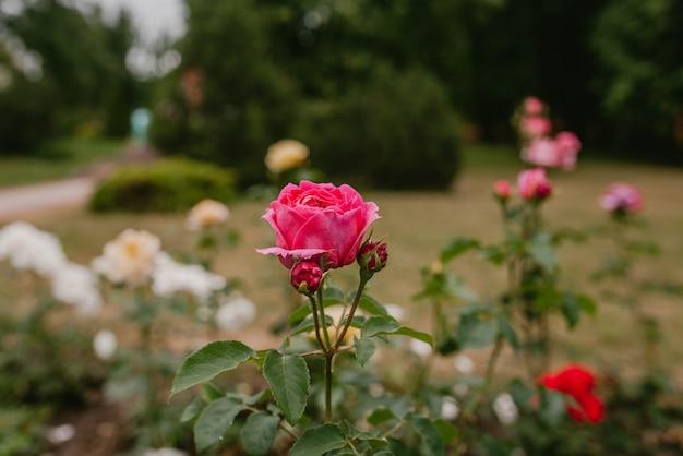 Rose bud on the bush