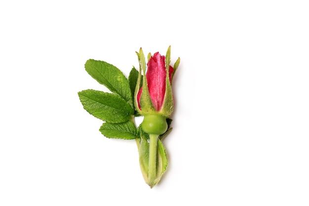 白い背景のロマンスに分離されたバラのつぼみ