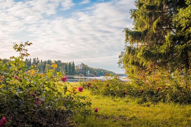 Куст роз и большая старая ель на переднем плане большого озера