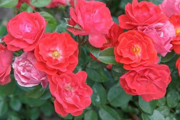 背景にぼやけた緑の葉と庭の赤い花とバラの茂み。浅い被写界深度