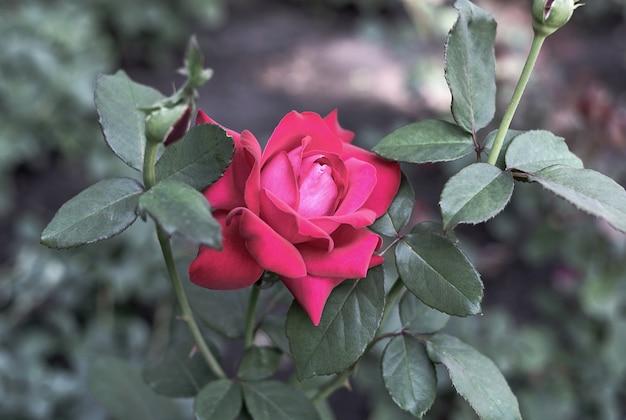 ぼやけた緑の背景に吹き飛ばされていないつぼみとバラの茂み花と植物