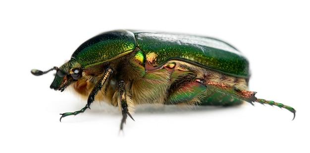Майский жук - cetonia aurata