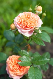 Rose chippendale tantau in the garden