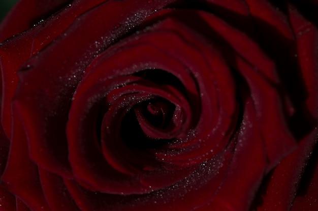 Rose closeup red rose background