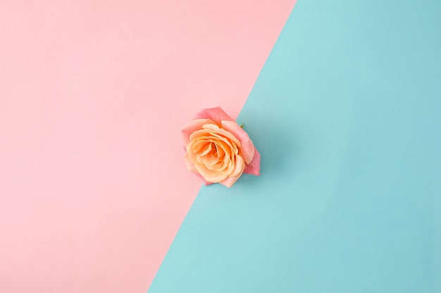 Rose on colorful modern surface