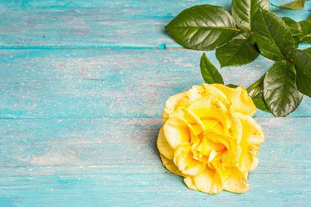 Rose decorative background. fresh yellow flower, hard light, dark shadow. turquoise wooden boards background, copy space