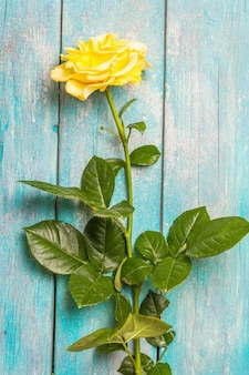 Rose decorative background. fresh yellow flower, hard light, dark shadow. turquoise wooden boards background, place for text