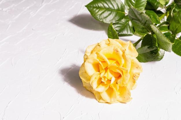 Rose decorative background. fresh yellow flower, hard light, dark shadow. white putty background, copy space