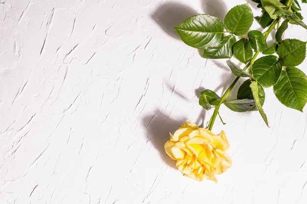 Rose decorative background. fresh yellow flower, hard light, dark shadow. white putty background, top view