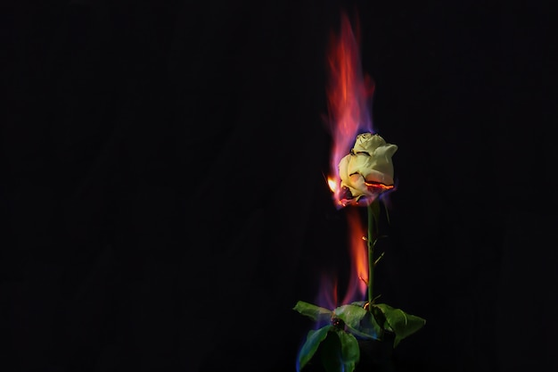 Rose in fire. beautiful photo of a white rose on fire