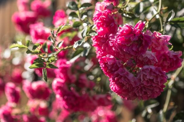 バラ園の木製の背景に咲くバラの花。自然。