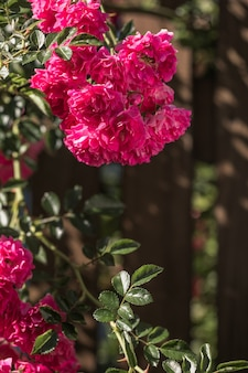 Rose flower blooming on wooden background  in roses garden. nature.
