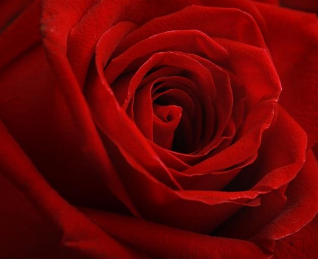 Цветок розы на день святого валентина.