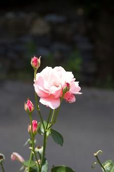 Цветок розы, растущий в саду. цветущий куст роз в солнечный летний день