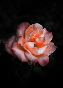 Rose flower on natural dark.