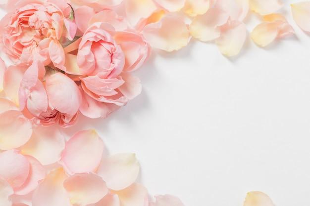 バラの花と白い背景の上の花びら