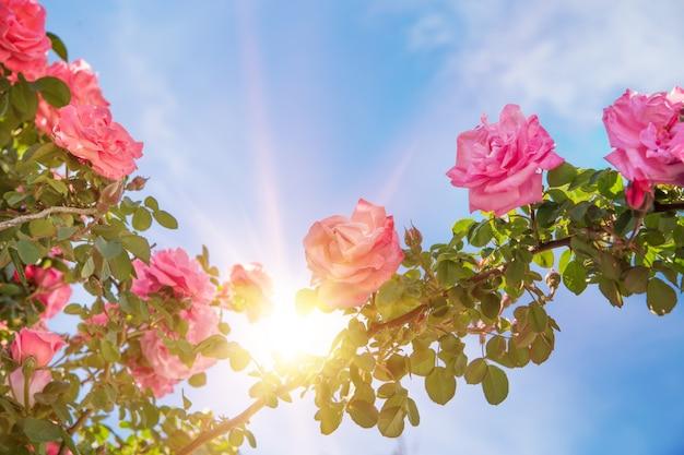 Rose garden over sky.
