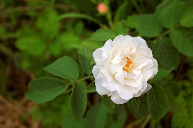 Rose in the garden summer