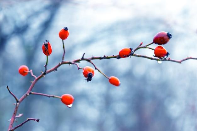Куст шиповника с красными ягодами и каплями дождя