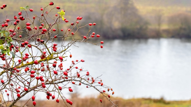 Куст шиповника с красными ягодами у реки