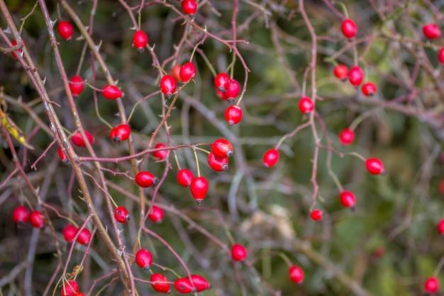 Куст шиповника с красными ягодами в пасмурную погоду поздней осенью