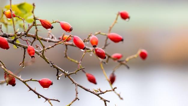 Куст шиповника с красными спелыми ягодами и каплями дождя у реки с размытым фоном