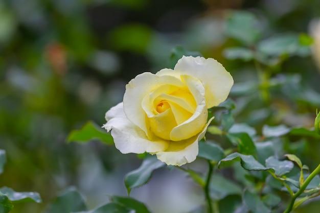 Роза в саду в кхун ванге, чиангмай, таиланд, выберите мягкий фокус,