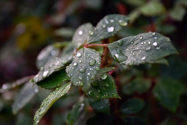 수분 방울과 함께 비 후 장미 잎