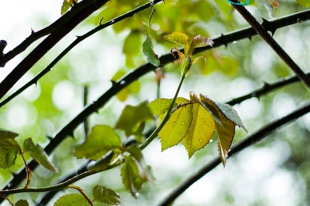 雨の中のバラの葉、葉に雨が降る、クローズアップ