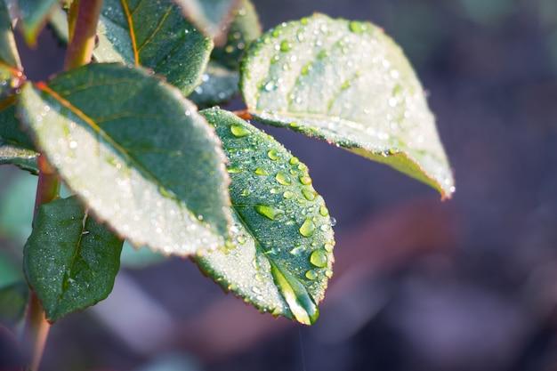 露や雨の滴でバラの葉。庭の朝