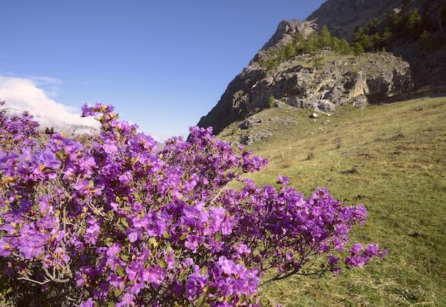 Роза куста маральника на крутом склоне горы заросшая травой освещена