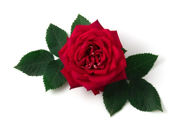 Роза на белом фоне с зелеными листьями