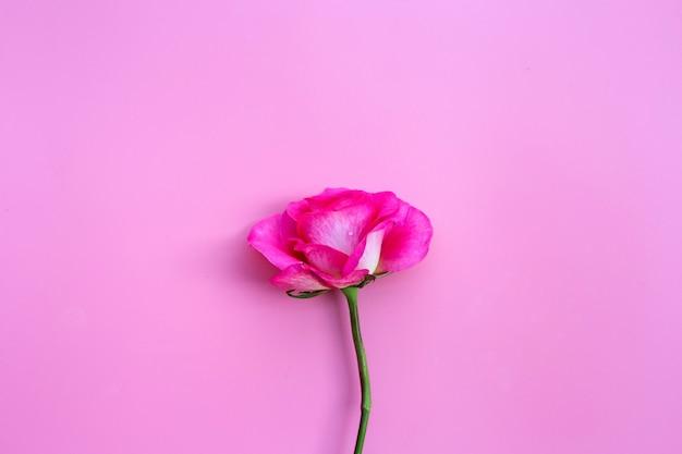 Роза на розовой стене. стена концепции дня святого валентина