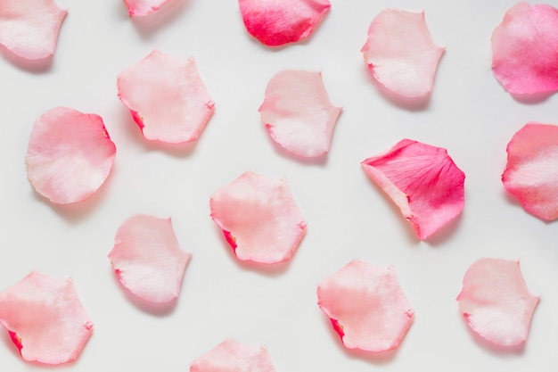 Rose petals are pink, arranged on a white space. the concept of soft floral spaces, spaces for perfume and oils for a gentle aromatic