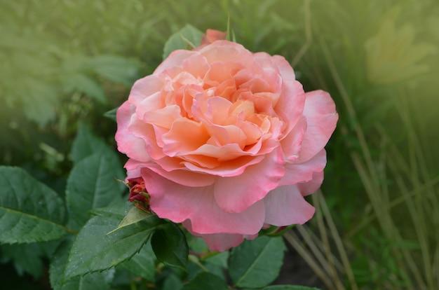 バラの花びらが黄色からピンクに変わります。屋外で育つローズマンゴー。