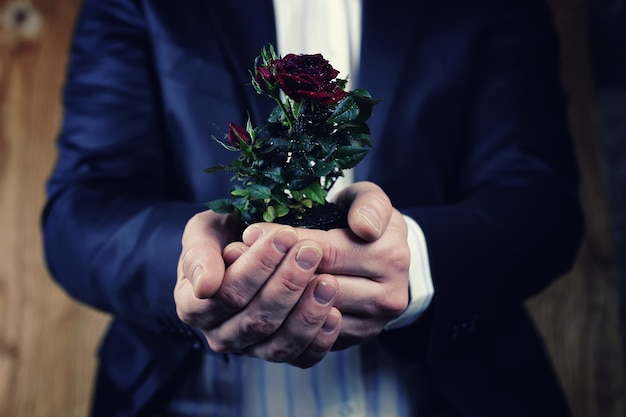 Rose in a pot man hold in hand