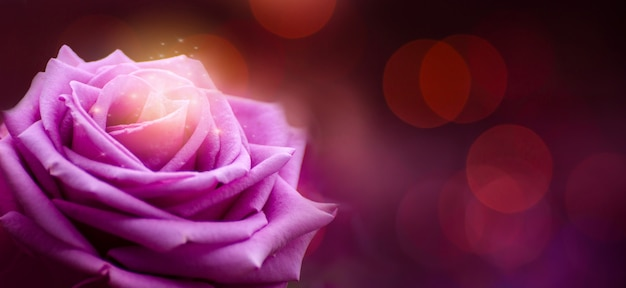 Rose purple red valentines day bokeh banner