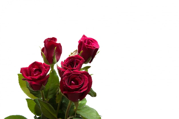 Rose red flower isolated studio shot on white