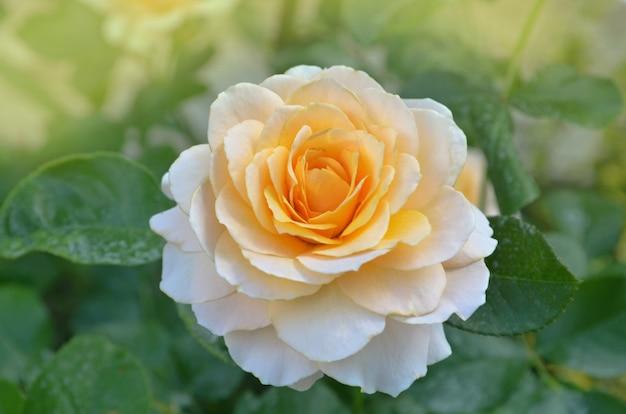 健康な葉と害虫のいない花でバラ。庭で育つ緑の葉を持つ美しい黄色いバラ
