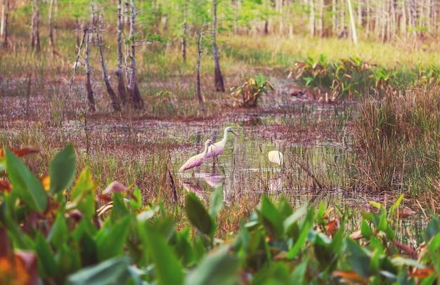 미국 플로리다주 에버글레이즈 국립공원의 roseate 저어새