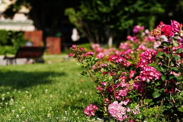 Rosebush on  green park of nesebar, bulgaria.